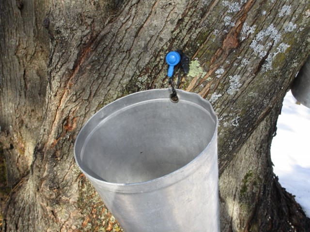 Maple Syrup at home